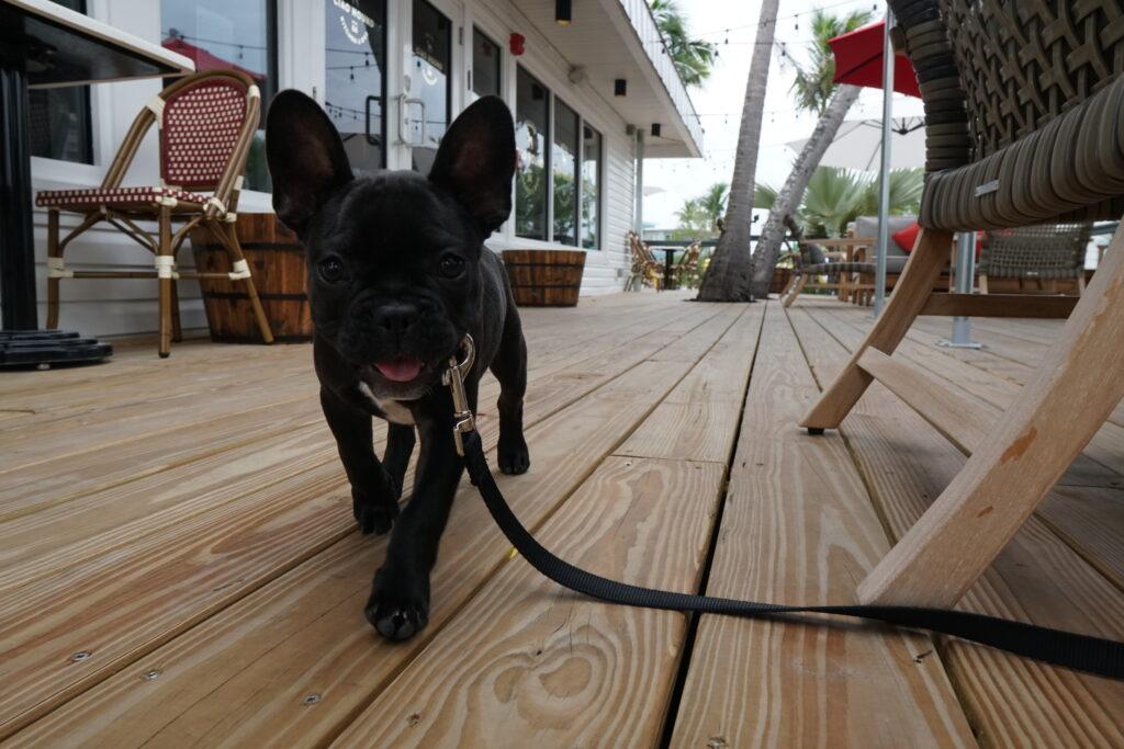 postcard inn islamorada florida ciao hound terrier dog